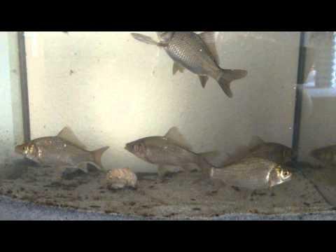 Die Fische die Parasiten der Meere und der Ozeane