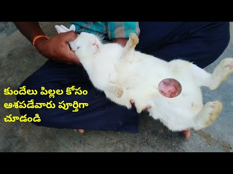 , title : 'How to find kits movements in pregnancy rabbits & care || in telugu