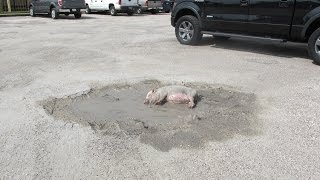 Pot-bellied Pig Rolling In Mud In Parking Lot (Corpus Christi, Texas)