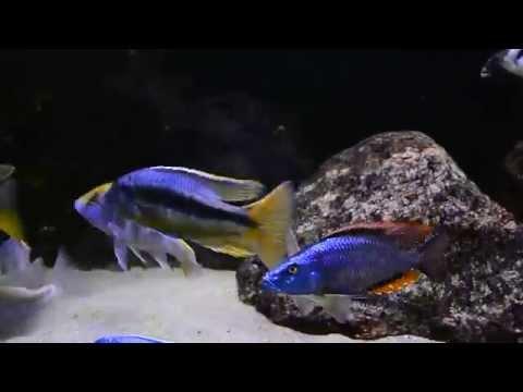 PREDATORY Z MALAWI - akwarium 1147l