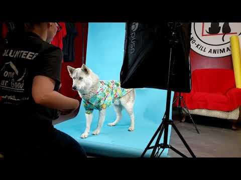 ELIJAH, an adoptable Siberian Husky Mix in Phoenix, AZ