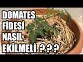 Domates Fidesi Dikimi Ve Büyümeyi Hızlandırma tomato