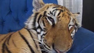 Смотреть онлайн Огромный тигр сладко спит на диване