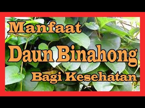 Video 3 Manfaat Daun Binahong