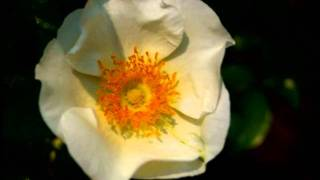 バラのアルバムとモーツアルトの「みじかくも美しく燃え」
