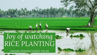 Rice Planting, Andhra Pradesh
