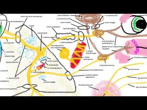 Jak ustalić masę mięśni w organizmie