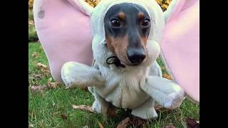 The Elephant & Giraffe - Dachshund Dog Costumes!