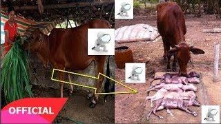 Chuyện lạ có thật: Bò đẻ liền 5 con