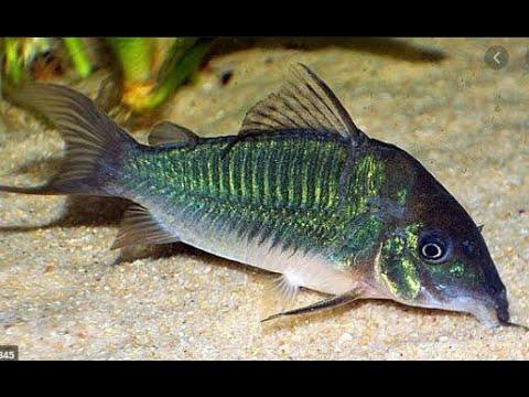 Como criar o peixe Corydora Paleatus em um aquário