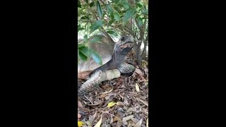 Zoo to You: A slow stroll with red-footed tortoise, Lando
