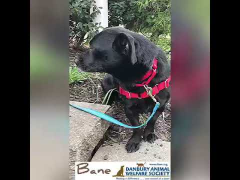Bane, an adopted Dachshund Mix in Danbury, CT_image-1