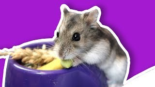 Setting Up A Large Hamster Cage | Our Hamster Cage Tour   The Hoopsters