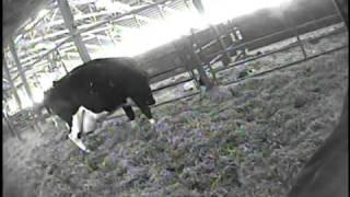 Adskillelse af ko og kalv kan blive mælkebøndernes buræg