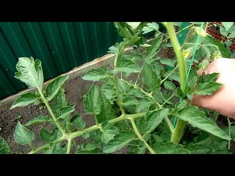 Мои помидоры в середине июня
