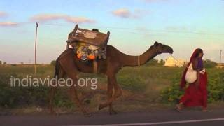 Camels and Gypsies in Dwarka, Gujarat
