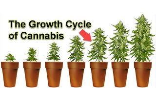 COMMERCIAL CANNABIS LIFE CYCLE - CLONE TO HARVEST - HPS LIGHTS - HYDROPONICS - INDOOR GROW