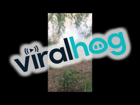 Brave dog chases big crocodile back into the river