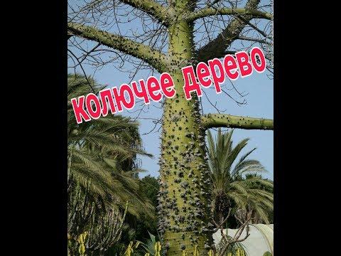 Колючее дерево в Испании.  Поход к доктору.  Прогулка по городу / VLOG