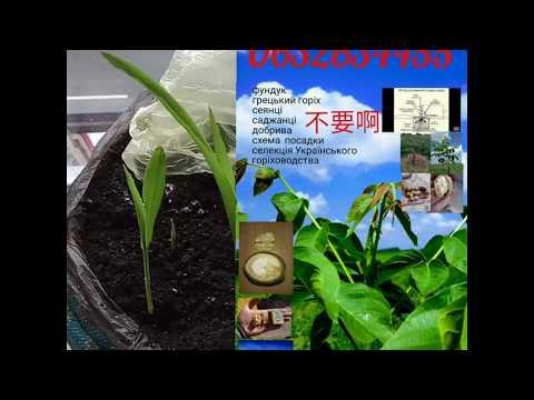 中國兄弟高產玉米種子!訂閱頻道。 +380632634455 Viber。不貴! Chinese seeds of high-yielding corn!+380632634455 Viber.