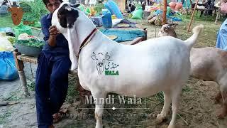 Lahore Bakra Mandi visit on 3rd January 2018 - Bakra Mandi