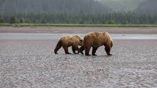 Brown Bear with two hungry cubs