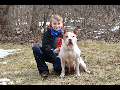 Summer, an adoptable American Bully in Cranford, NJ