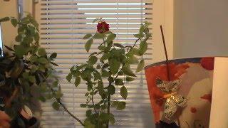 Обрезаем комнатную мини розу на зиму (роза Кордана) видео