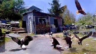Dozens Of Huge Bald Eagles Swarm & Scare My Wife In Fisherman's Backyard!