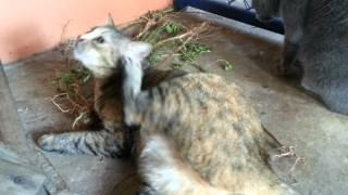 แมวโหดฟินสุดสุดกับตำแยแมว