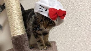 キティちゃんになってキャットタワーで遊ぶ子猫