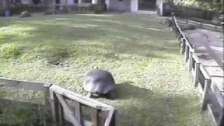 Tortoise smashing a Fence at the FloridaIguana.com