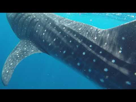 Messico: Holbox, swimming with Shark Whale