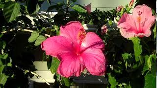Hawaiian Hibiscus Flower...