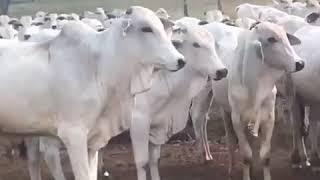 Bovino Corte Nelore Garrote 11-15@ - e-rural Imagens