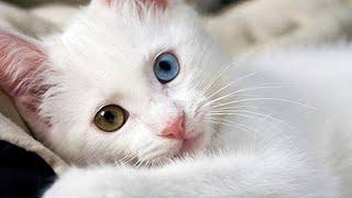 Gambar cover Türkiye'nin en güzel kedileri Van kedisi The world's sweetest cat and the most beautiful cat Turkey