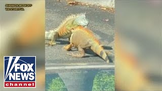 Dramatic Video: Iguanas battle it out in Starbucks parking lot