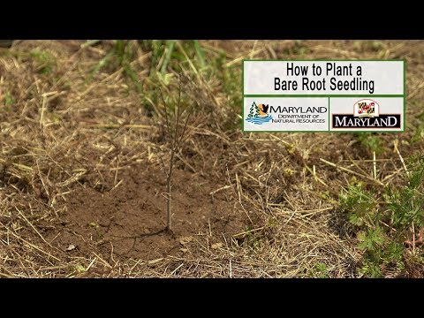 How to Plant a Bare Root Seedling - Maryland Department of Natural Resources