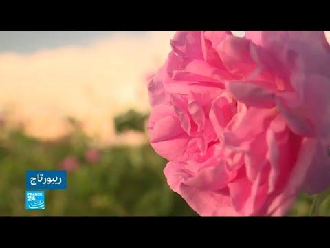 العرب اليوم - شاهد:الفائض في إنتاج الورود يزيد مخاوف المزارع البلغاري