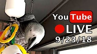 🔴🐦Einstein Parrot LIVE! 9/23/18 Talking and walking on the porch   Kholo.pk