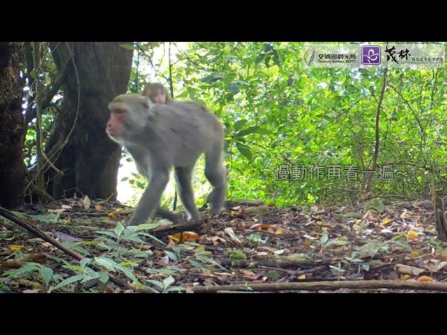 <html> <body> 茂林動物篇 ─ 台灣獼猴猴因仔的馬術表演 </body> </html>