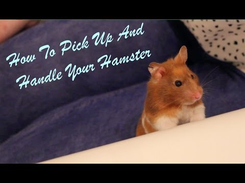 How To Pick up and Handle Your Hamster