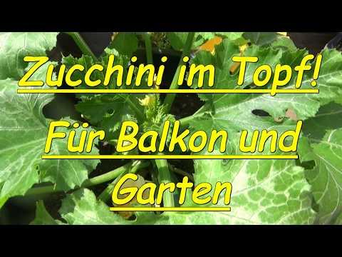 Balkonzucchini ! Zucchini im Topf ! Neu ! Balkon Terrasse