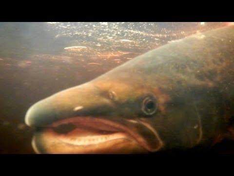 Royal salmon fishing on the Thurso, Scotland