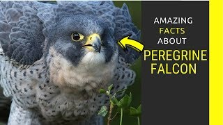 Peregrine Falcon facts for kids  Things You Didn't Know About Peregrine Falcons