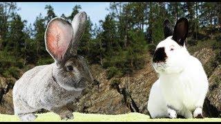 Почему я отказался от ризенов в пользу калифорнийских кроликов