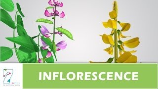 MORPHOLOGY OF FLOWERING PLANTS-VIDEOS-CH04-PART10-THE INFLORESCENCE