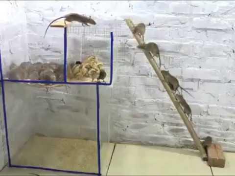 Rattenfalle mit Küken
