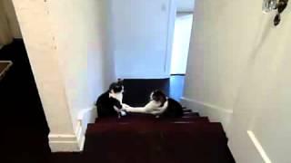 Кошачий бокс   Смешное видео