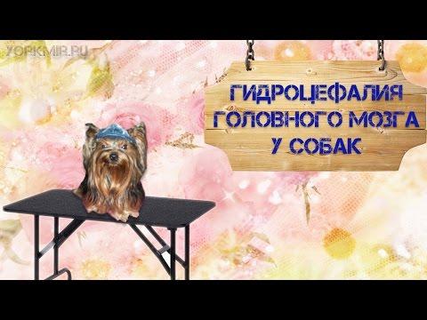 Гидроцефалия головного мозга у собак | Симптомы.